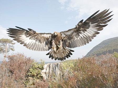 golden-eagle2