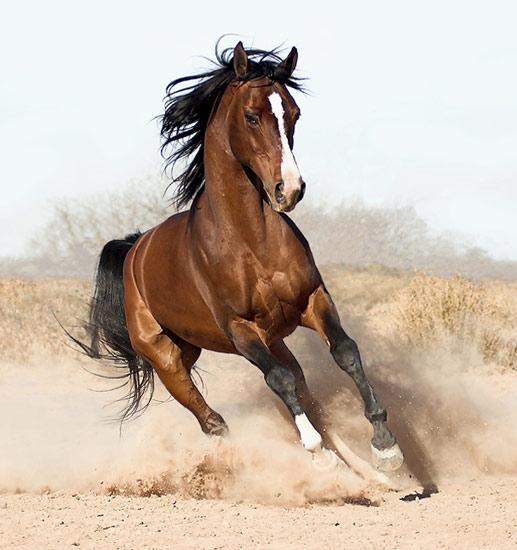 arabian-horse8